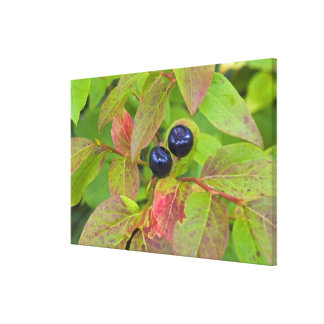 Ripe huckleberries in the Flathead National Canvas Print