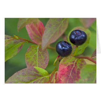 Ripe huckleberries in the Flathead National Greeting Cards