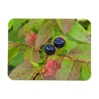 Ripe huckleberries in the Flathead National Magnet
