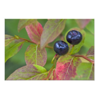 Ripe huckleberries in the Flathead National Photo Print
