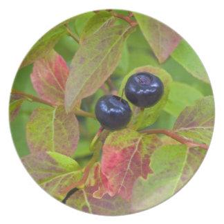 Ripe huckleberries in the Flathead National Plate