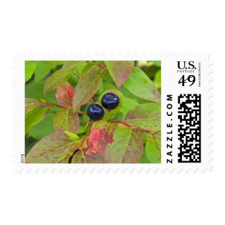 Ripe huckleberries in the Flathead National Stamps