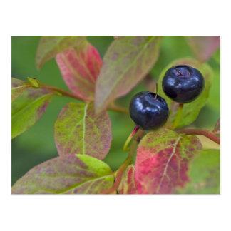 Ripe huckleberries in the Flathead National Postcard