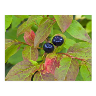 Ripe huckleberries in the Flathead National Post Cards