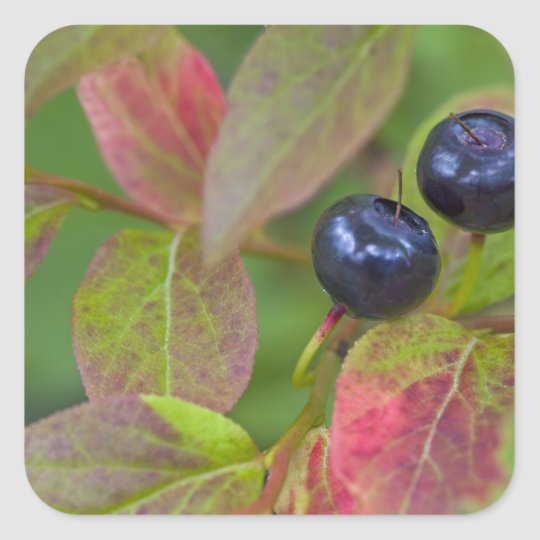 Ripe huckleberries in the Flathead National Square Sticker