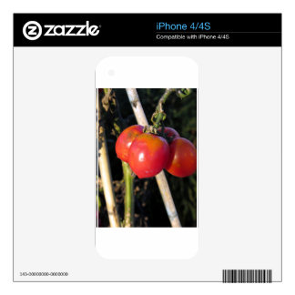 Ripe tomatoes on a branch iPhone 4 skins