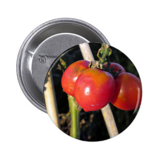 Ripe tomatoes on a branch pinback button