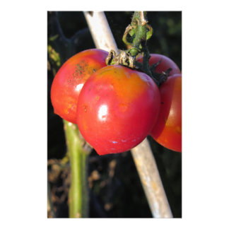 Ripe tomatoes on a branch stationery