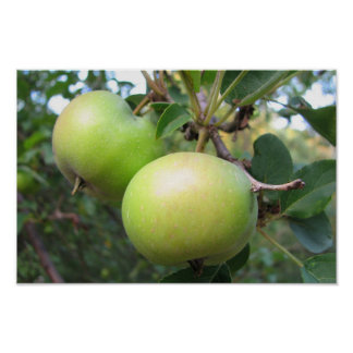 Ripening Apples Poster