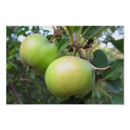 Ripening Apples Print