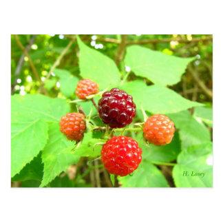 Ripening Berries Postcard