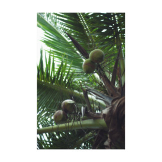 Ripening coconuts in a palm tree gallery wrap canvas