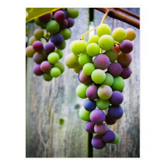 Ripening Grapes Postcard