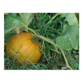 Ripening pumpkin postcard