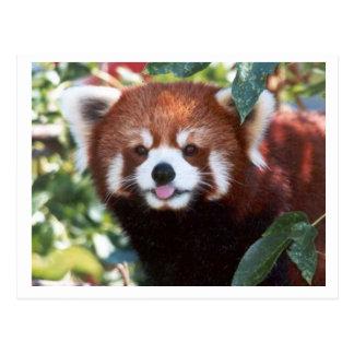 Risa de la panda roja tarjetas postales