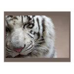 Risa del tigre blanco tarjeta postal