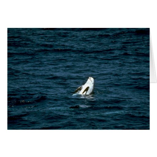 Risso's Dolphin Cards