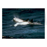 Risso's dolphin greeting cards