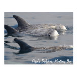 Risso's Dolphins Postcard