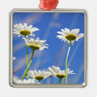 Ritos de gustar cielo Leucanthemum vulgare