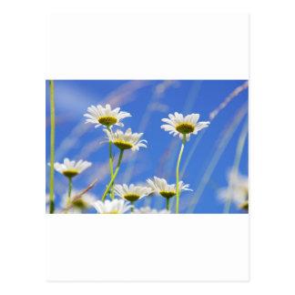 Ritos de gustar cielo Leucanthemum vulgare Postales