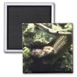 River Otter peering out of rocky den Fridge Magnet