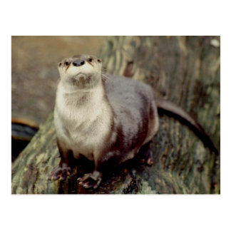River Otter Posing Post Card