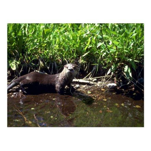 River Otter-summer Postcards