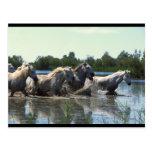 River Walking Horses Post Cards