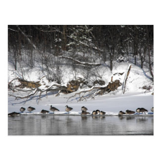 Riverside Geese Postcard