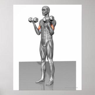 Rizo derecho 2 del bíceps póster