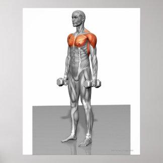 Rizo derecho del bíceps póster