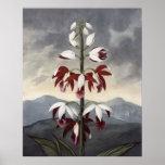 RJ Thornton - la orquídea de China Limodoron Posters