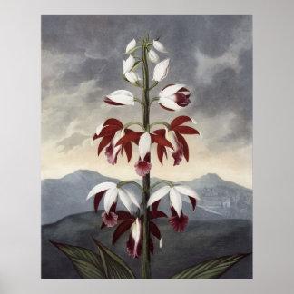RJ Thornton - la orquídea de China Limodoron Póster
