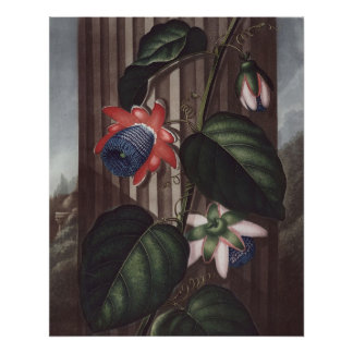 RJ Thornton - Winged Passion-flower Poster