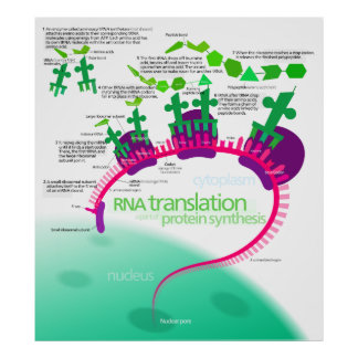 RNA Translation in Protein Synthesis Diagram Poster