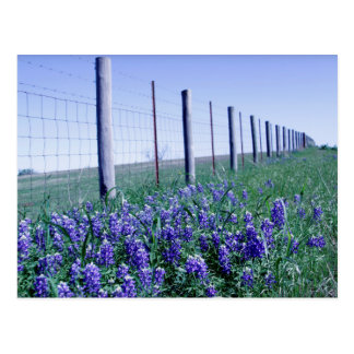 roadside bluebonnets postcard