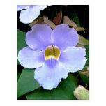 Roadside flower, Placencia, Belize Post Card