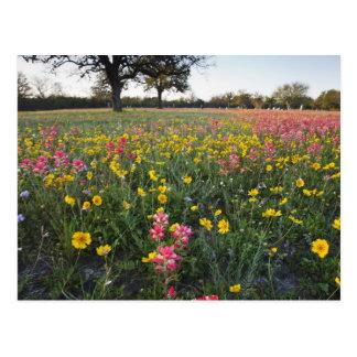 Roadside wildflowers in Texas, spring 3 Postcard