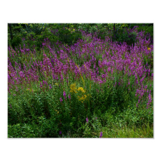 Roadside Wildflowers - Purple Loosestrife with som Poster