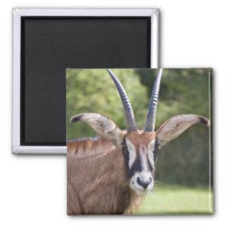 Roan Antelope Magnet
