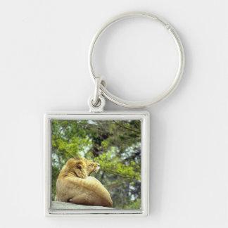 Roaring Lioness on Rock Keychain