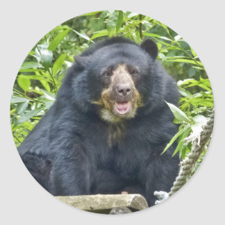 Roaring Spectacled Bear Portrait Classic Round Sticker