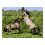 roaring stallions postcard