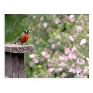 Robin and Wild Roses Photo Postcard