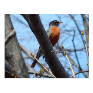 Robin by the Mystic River Postcard