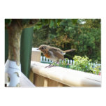 Robin Calling Card Business Cards