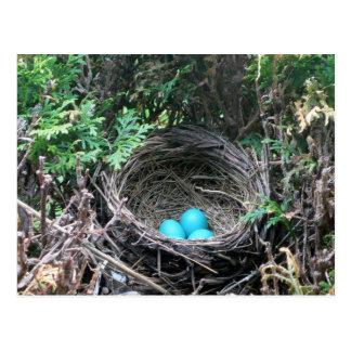 Robin Eggs in Nest Postcard