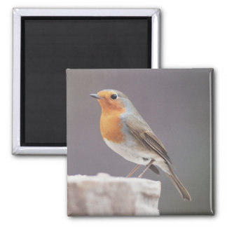Robin - Erithacus rubecula 2 Inch Square Magnet