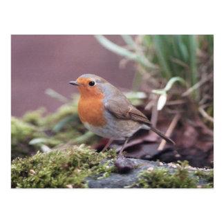 Robin - Erithacus rubecula Postcard